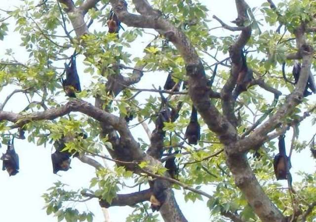 Nipah alert? This village in India's Bihar state considers bats as their 'protectors'