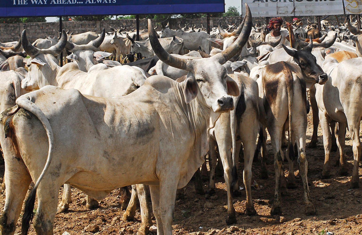 Patna dying cows, Cows die at Patna animal shelter homes, dying cows of Patna, Patna cows Kanji , cow deaths at patna kanji houses
