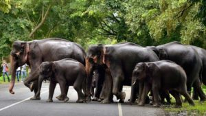 Elephant hides baby between its legs to save from herd crossing road in India