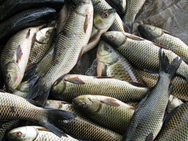 Bihar considering to ban 'cancerous' Andhra fish, says minister