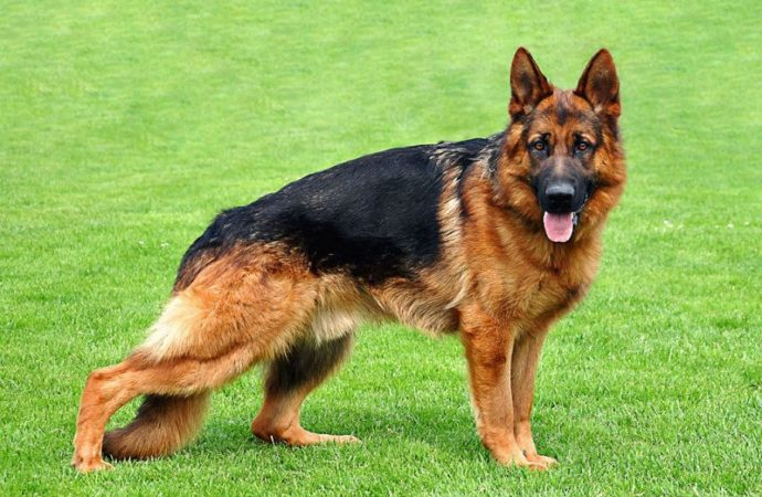 Missing German Shepherd proves a big headache for Patna police