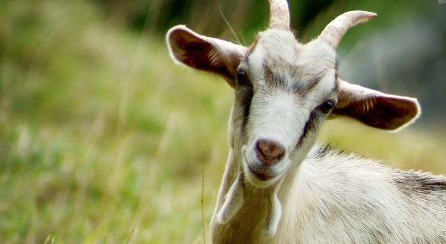 Outrage after goat gang-raped by eight men in Indian state