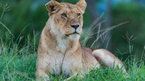 Old woman fights lioness with sickle to save goat in Bihar, lands in hospital
