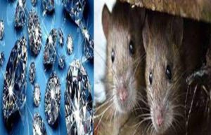 Believe it or not: Naughty rats turn 'jewel thieves' in Bihar