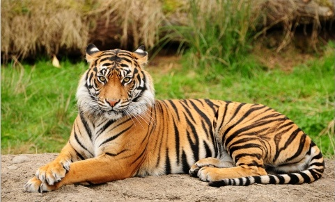 Indian poacher accused of killing nine tigers dies of heart attack