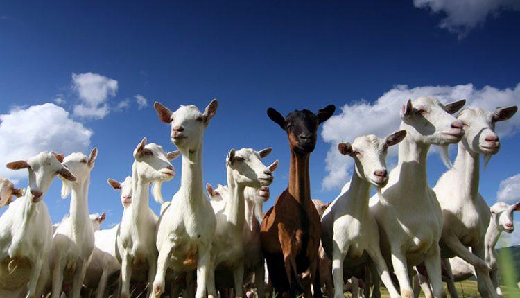 Bihar's popular milk brand Sudha Dairy now to sell goat milk too