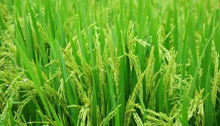 Bihar farmers growing 'sugar-free' rice to help diabetic patients