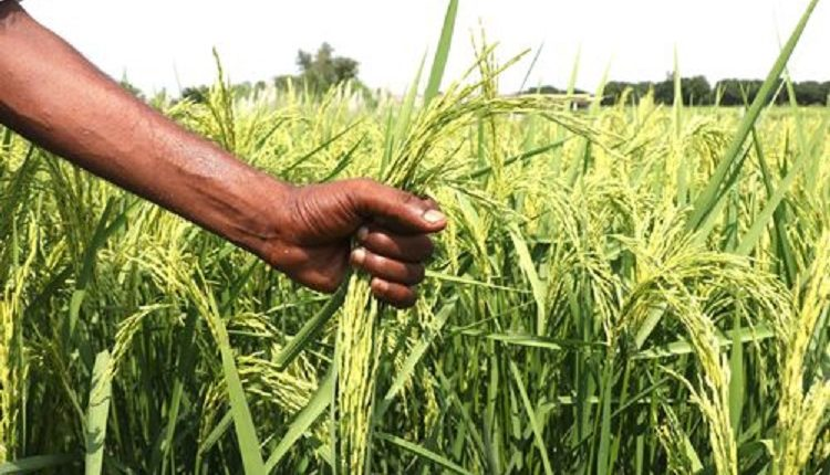 Punjab starts Basmati growers' registration to boost quality and exports