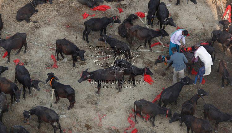 Gadhimai festival Nepal, animal beheading festival