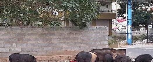 pigs death, bihar, bhagalpur, swine fever, Bihar