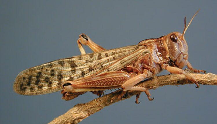 locusts, locusts attack, Gopalganj, Rohtas, Bihar, Bihar News