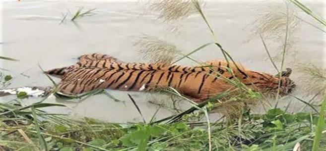 tiger, animals, floodwaters, Bihar floods, Bihar, Bihar News,