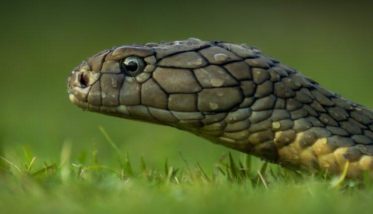 nagin dance, dance with cobra, Bihar, Khagaria, Bihar news, Bihar odd news