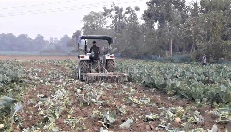 cauliflower, bihar, bihar farmer, tractor, Samastipur, tractor on cauliflower, bihar news