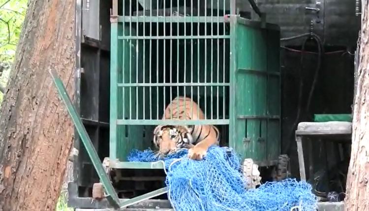 Royal Bengal Tiger, VTR, Bihar,straying Bihar tiger, VTR, Bihar